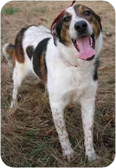 Australian Cattle Dog/Border Collie Mix Dog for adoption in Tahlequah, Oklahoma - Bubbles