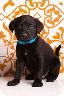 Labrador Retriever Mix Puppy for adoption in Portland, Oregon - Austin