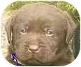 Golden Retriever/Labrador Retriever Mix Puppy for adoption in Provo, Utah - Puppies