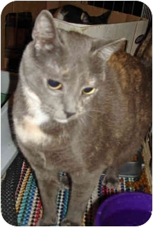Domestic Shorthair Cat for adoption in Colmar, Pennsylvania - Misty