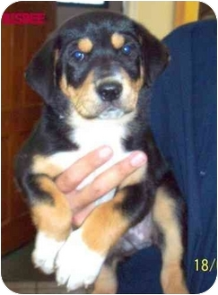 Australian Shepherd/Shepherd (Unknown Type) Mix Dog for adoption in tucson, Arizona - Bisbee