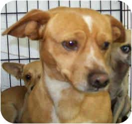Chihuahua/Beagle Mix Dog for adoption in Inman, South Carolina - Weenie