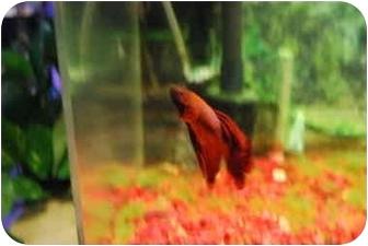 Fish for adoption in Culver City, California - Beta Fish