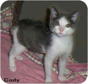 Domestic Shorthair Kitten for adoption in Houston, Texas - Cody