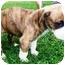 Photo 2 - Boxer Mix Puppy for adoption in Seneca, South Carolina - JAY JAY