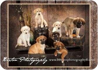 """German Shepherd Dog/Golden Retriever Mix Puppy for adoption in Callahan, Florida - """"Friends"""" litter"""