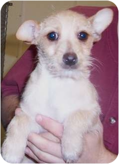 Terrier (Unknown Type, Small) Mix Puppy for adoption in Belvidere, Illinois - Mattox