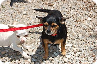 Chihuahua/Dachshund Mix Dog for adoption in Creston, California - Sabrina/ nice dog!