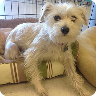 Poodle (Miniature)/Terrier (Unknown Type, Small) Mix Dog for adoption in Oceanside, California - Mango