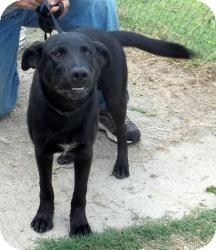 Labrador Retriever Mix Dog for adoption in Gaffney, South Carolina - Daytona