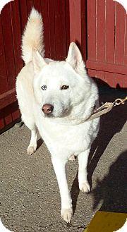 Husky/Spitz (Unknown Type, Medium) Mix Dog for adoption in Carmel, New York - Codie