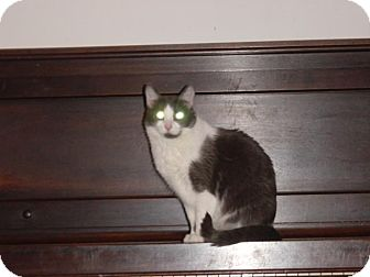 Domestic Shorthair Cat for adoption in Bedford, Virginia - Olive