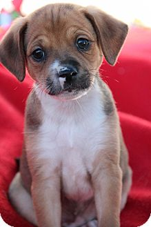 Dachshund/Jack Russell Terrier Mix Puppy for adoption in Yuba City, California - Hansel