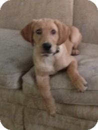 Labrador Retriever Puppy for adoption in Madison, Wisconsin - Wonder
