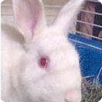Adopt A Pet :: Algernon - Rockville, MD