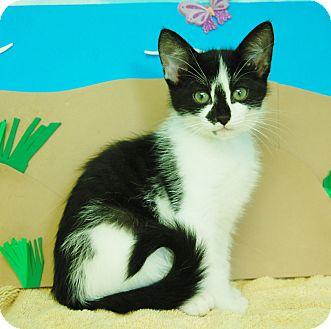 Domestic Shorthair Kitten for adoption in Bradenton, Florida - Max