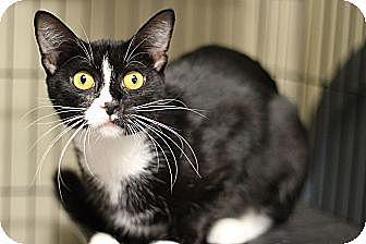 Domestic Shorthair Cat for adoption in Marietta, Georgia - Bette Davis