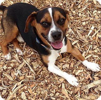 French Bulldog/Beagle Mix Dog for adoption in Cincinnati, Ohio - Harley: Oakley