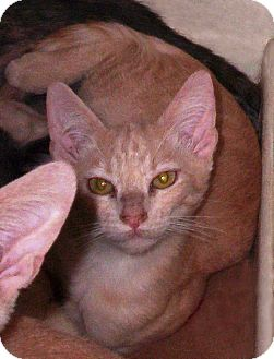 Domestic Shorthair Kitten for adoption in Cerritos, California - Houdini