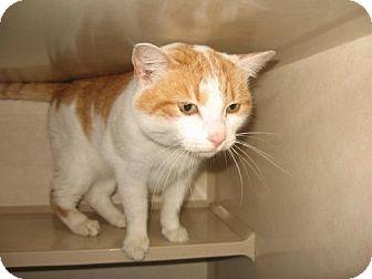 Domestic Shorthair Cat for adoption in Tyner, North Carolina - Sage