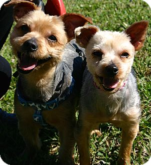 Yorkie, Yorkshire Terrier Dog for adoption in Ft Myers Beach, Florida - Take Them Home!
