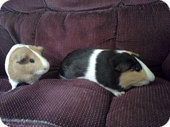 Guinea Pig for adoption in San Antonio, Texas - Sam & Dave