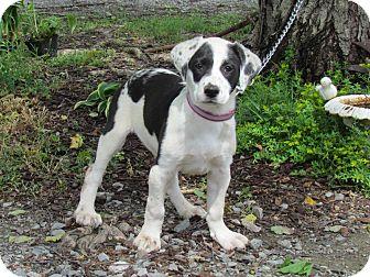 St. Bernard/Labrador Retriever Mix Puppy for adoption in Bedminster, New Jersey - PORTIA