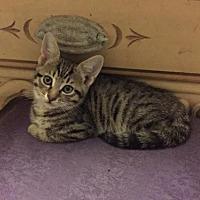 Domestic Mediumhair Cat for adoption in St. Cloud, Florida - Benje