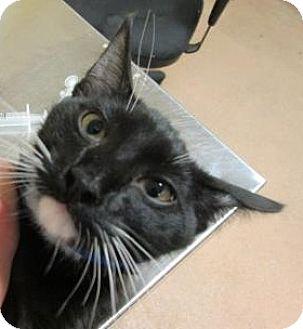 Domestic Shorthair Cat for adoption in Cumming, Georgia - Raphael