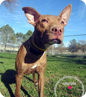 Pit Bull Terrier Mix Dog for adoption in Sidney, Ohio - Jada
