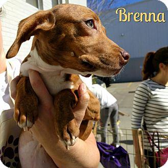 Dachshund/Australian Shepherd Mix Puppy for adoption in Houston, Texas - Brenna