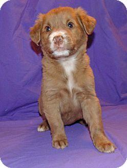 Australian Shepherd Mix Puppy for adoption in Washington court House, Ohio - Cinnamon