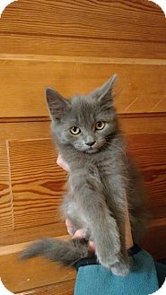Domestic Longhair Kitten for adoption in Huntley, Illinois - GG