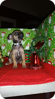 Chihuahua Mix Puppy for adoption in Houston, Texas - JACOB (pending)