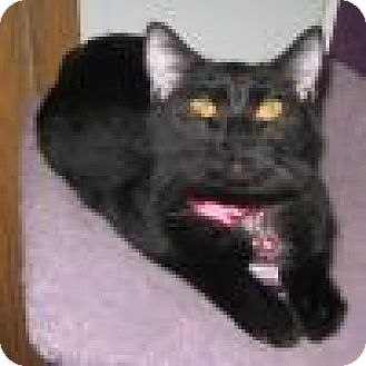 Domestic Shorthair Cat for adoption in Powell, Ohio - Saydie