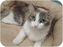 Domestic Shorthair Cat for adoption in Brenham, Texas - Lucy