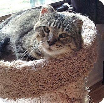 Domestic Shorthair Cat for adoption in Rochester, Minnesota - Guiney