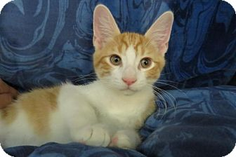 Domestic Shorthair Kitten for adoption in Detroit, Michigan - Franklin