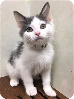 Domestic Shorthair Kitten for adoption in Downers Grove, Illinois - ADOPTED!!!   Jilly