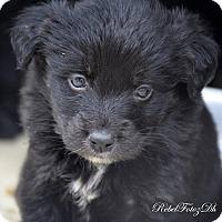 Adopt A Pet :: Spitz Puppies - Quincy, IN