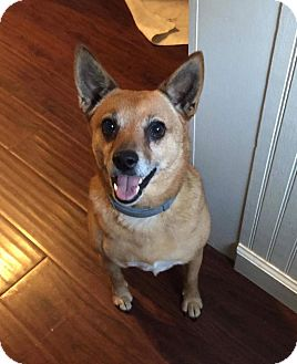 Shiba Inu/Jack Russell Terrier Mix Dog for adoption in Washington, D.C. - Lake
