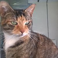 Domestic Shorthair Cat for adoption in Battle Creek, Michigan - Melanie