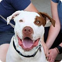 Adopt A Pet :: Dobby - Springfield, MO