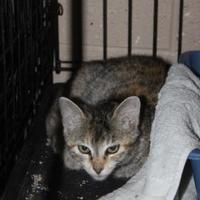 Domestic Shorthair/Domestic Shorthair Mix Cat for adoption in Russellville, Kentucky - Delilah