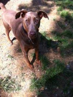 Doberman Pinscher Mix Dog for adoption in Manassas Park, Virginia - Cinnamon B