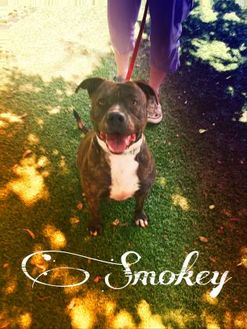 American Staffordshire Terrier Mix Dog for adoption in Chattanooga, Tennessee - Smokey