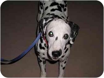 Dalmatian Mix Dog for adoption in Mesa, Arizona - Travis