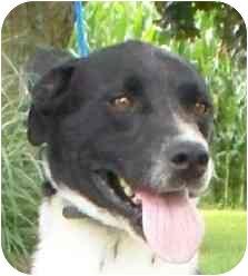 Border Collie Mix Dog for adoption in Lexington, Missouri - Jessie