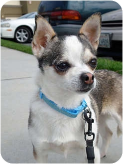Chihuahua Mix Dog for adoption in San Dimas, California - Buttons