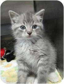 Domestic Mediumhair Kitten for adoption in Spruce Pine, North Carolina - Moe